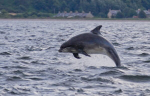 Dolphins in the Moray Firth